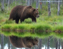 Brown bear in Kuhmo in Eastern Finland