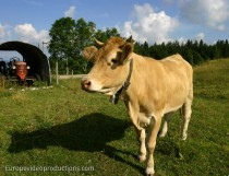 Cow in the Jura Mountains in France