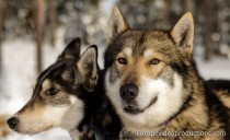 Husky Dogs in Finnish Lapland