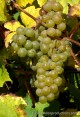 Riesling Grapes in Moselle Valley in Luxembourg
