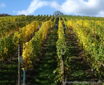 Vineyards in the Moselle Valley in Grand Duchy of Luxembourg
