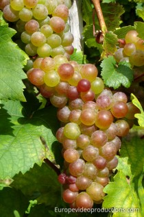 Mosel Wine Grapes in Moselle Valley in Germany