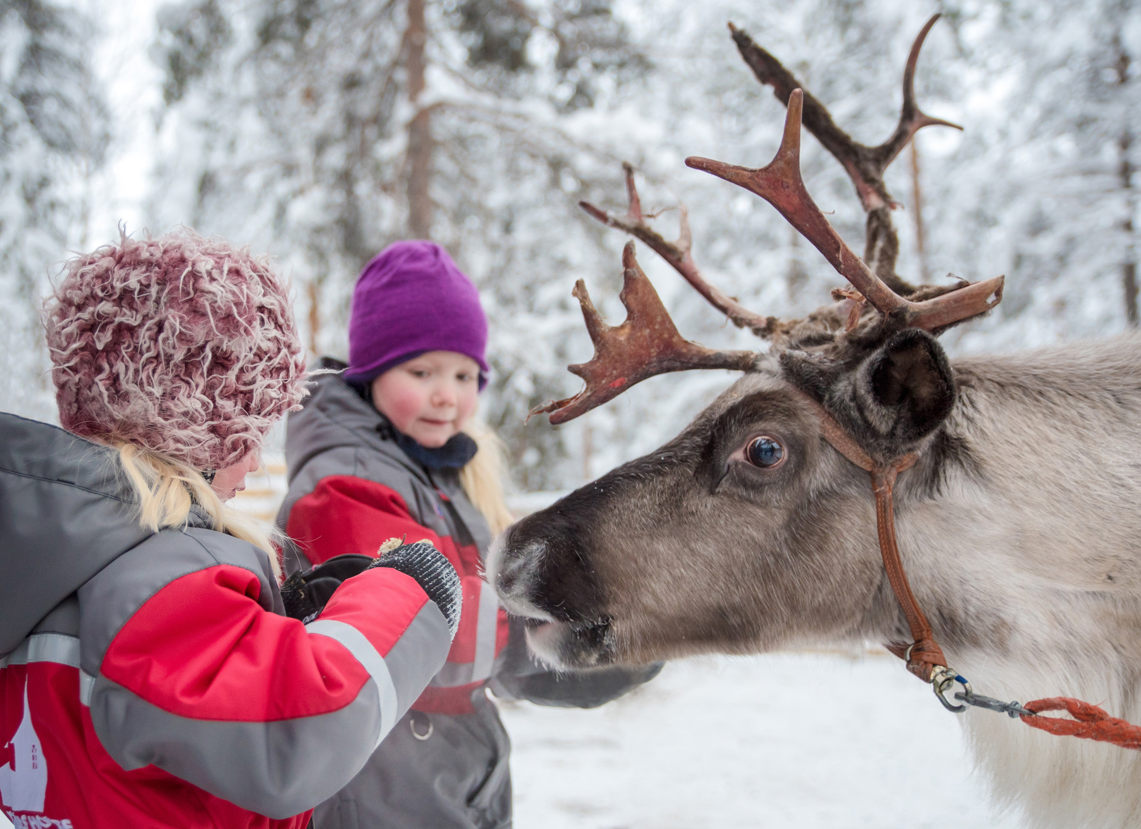 Children visiting the reindeer farm of Christmas House Safaris in Rovaniemi in Lapland