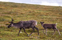 Lapland in Finland – land of reindeer and Santa Claus
