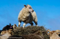 A small Icelandic lamb looks for its friends