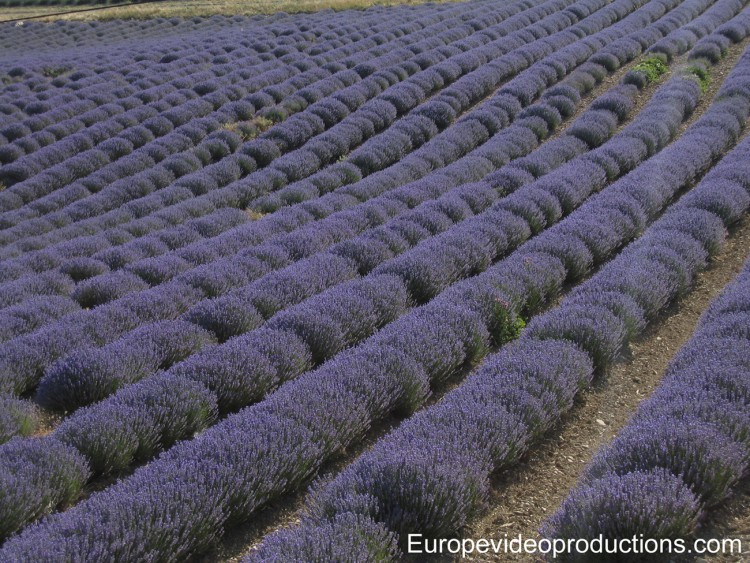 Lavander fields in Provence in France