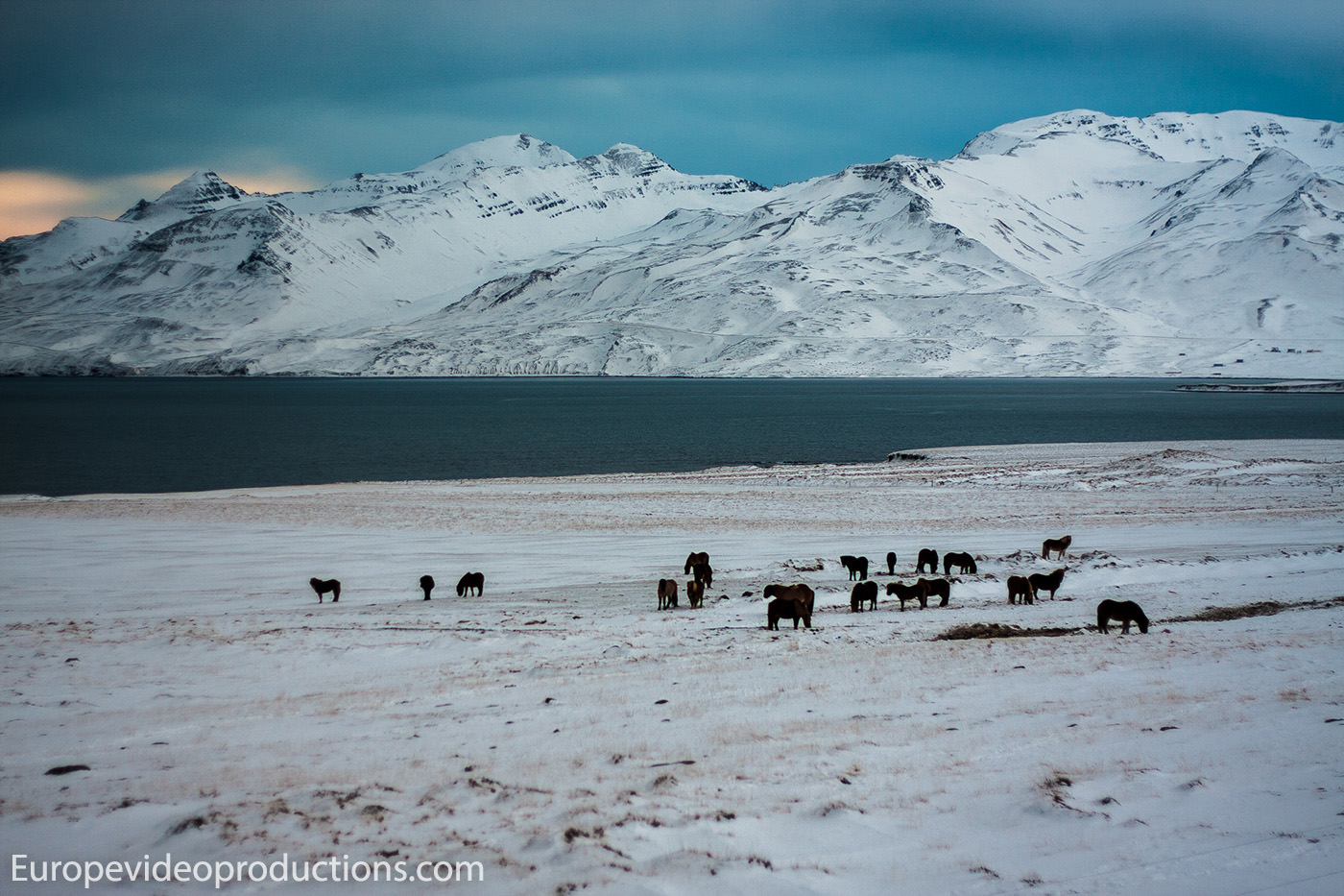Icelandic horses in winter landscape in Iceland