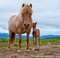 An Icelandic horse with a foal