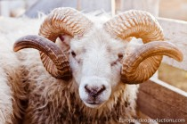 Icelandic ram Eythor – a male Icelandic sheep