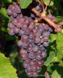 Moselle Valley Wine Grapes in Germany