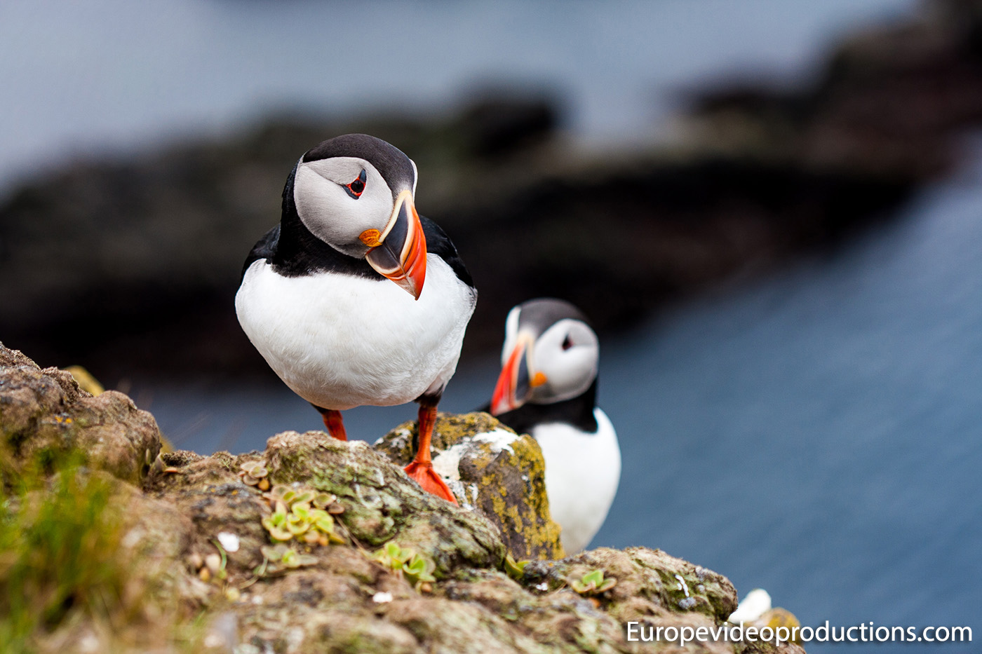 Puffins at Látrabjarg cliffs in Westfjords in Iceland