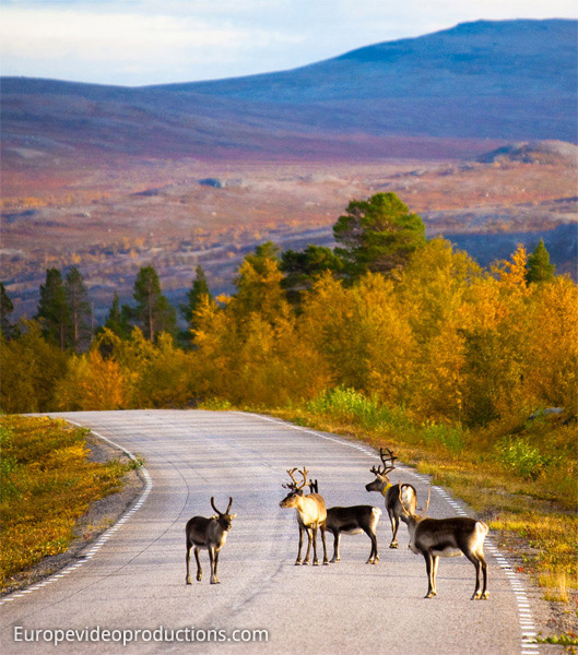 Reindeer on the road in the northernmost Finland