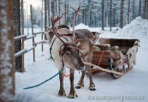 Reindeer waiting for Santa Claus in Finnish Lapland