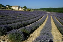 Lavender fields in Sault in Provence in France