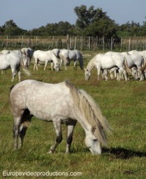 White Horses in Camargue in Southern France